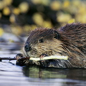 Image of Beaver trapping in Naperville, IL