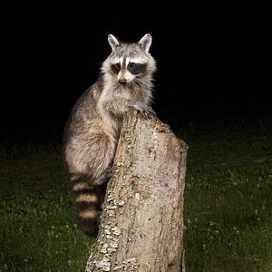 Image of raccoon removal in Naperville, IL