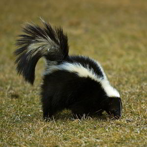 Image of Skunk removal in Naperville, IL